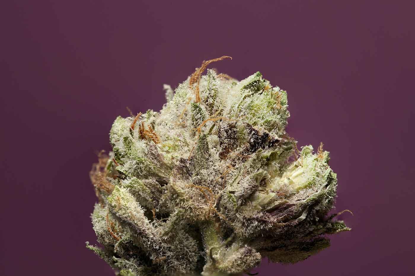 Trichomes - Cannabis 101 for Retail